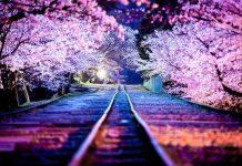 Japan cherry blossom trees